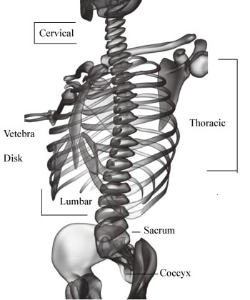 Anatomy of the Human Back (Spinal Column)