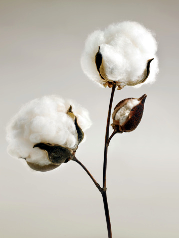 cotton the world s dirtiest crop Ironically, this fluffy, pure white plant was one of the dirtiest crops in the world   or insecticides, organic cotton is my go-to fabric for sheets and pillowcases,.