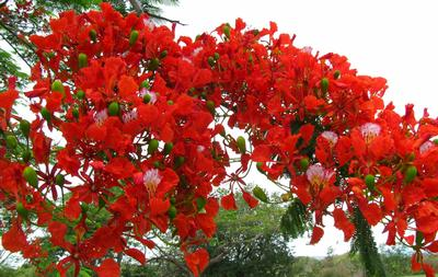 2010_11_02-poinciana-flowers-2.jpg