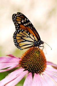 Butterflies1.jpg