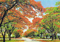 The Gulmohar Tree1.jpg