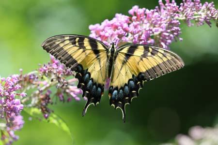 TigerSwallowtailButterfly1.jpg