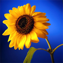 To the Sunflower1.jpg