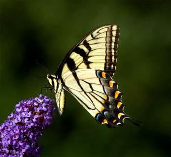 butterfly_yellow-flowers_detail_011.jpg