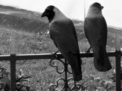 cropped_crows_bhaswar.jpg