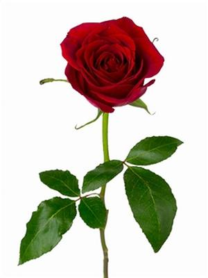 a red red rose critical essay Robert burns' 'a red, red rose' celebrates red rose' and interpret it correctly critical thinking - apply relevant concepts to go to essay writing.