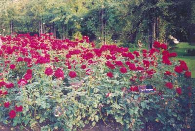 roses0011.jpg